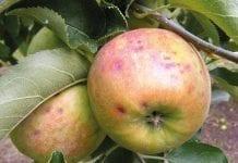 Co zagraża jabłkom podczas przechowywania