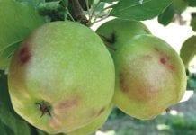 Problemy z utrzymaniem jakości przechowywanych owoców