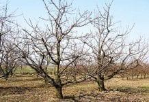 Podkładki do intensywnych sadów czereśniowych