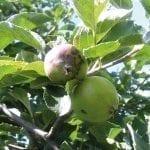 Zwalczanie chorób przechowalniczych jabłek