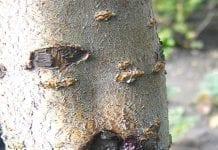 Ochrona drzew owocowych jesienią