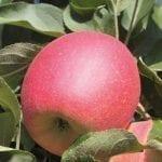 Wspomóc wybarwienie owoców
