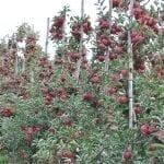 Zasady nowoczesnego prowadzenia jabłoni