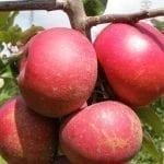 Czerwonomiąższowe odmiany jabłoni oraz możliwości ich wykorzystania w produkcji