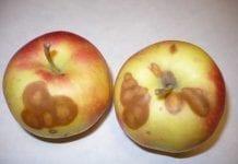 Przydatność przechowalnicza a podatność jabłek na choroby