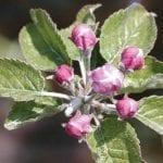 Dokarmianie roślin sadowniczych wczesną wiosną