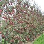 Mechaniczne cięcie drzew owocowych