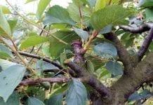 Cięcie  i formowanie wiśni  Cz. II.  Cięcie odnawiające