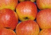 Nowe letnie odmiany jabłoni