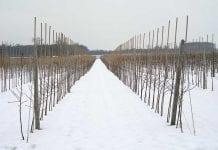 Cięcie i formowanie drzew jabłoni
