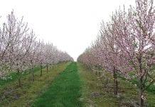 Zasady cięcia drzew pestkowych cz. I
