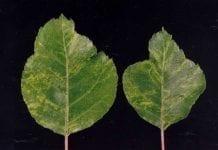 Choroby jabłoni wywoływane przez wirusy i inne patogeny przenoszone przez szczepienie