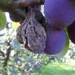 Nowy patogen drzew owocowych w Polsce