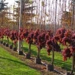 W Sandomierzu znów będą winnice