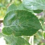 Parch jabłoni – zagrożenie i możliwości oceny