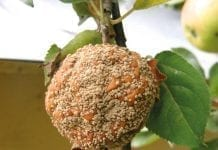 Zmiany chorobowe na owocach