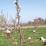 Znaczenie cięcia brzoskwiń i moreli dla jakości owoców
