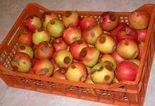 Choroby przechowalnicze jabłek i możliwości zwalczania