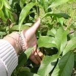 Letnie cięcie drzew pestkowych