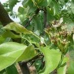 W sadzie śliwowym po kwitnieniu