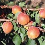 Optymalizacja nawadniania brzoskwiń i moreli