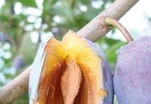 Nawożenie drzew w okresie wzrostu zawiązków owocowych