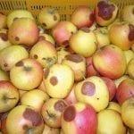 Przygotowanie owoców do przechowywania