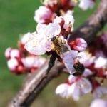 Czynniki warunkujące skuteczne zapłodnienie kwiatów moreli