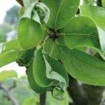 Miodówki sadów jabłoniowych i gruszowych