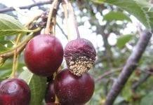 Procesy gnilne w owocach latem