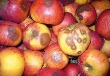 Ostatnie zabiegi ochrony przed zbiorem owoców