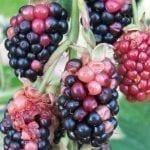 Roztocze (cz. II). Szkodniki krzewów owocowych i truskawek