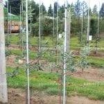 Tajemnice wysokich plonów i dobrej jakości jabłek