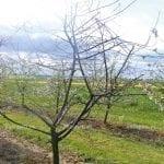Zmęczenie gleby i rosnące zagrożenie werticiliozą