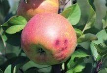 Dokarmianie  dolistne jabłoni przed zbiorami ipo nich