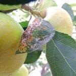 Ostatnie zabiegi zwalczające szkodniki przed zbiorem jabłek
