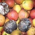 Ochrona jabłek igruszek przed chorobami pochodzenia grzybowego