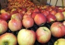 Globalny przegląd rynku jabłek