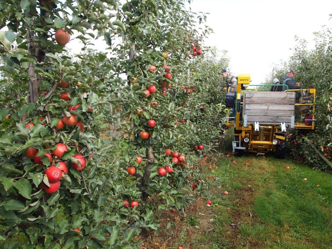 Najnowsze dane o produkcji jabłek na świecie