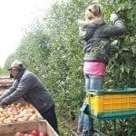 Szacunkowe, niższe plony jabłek na Węgrzech