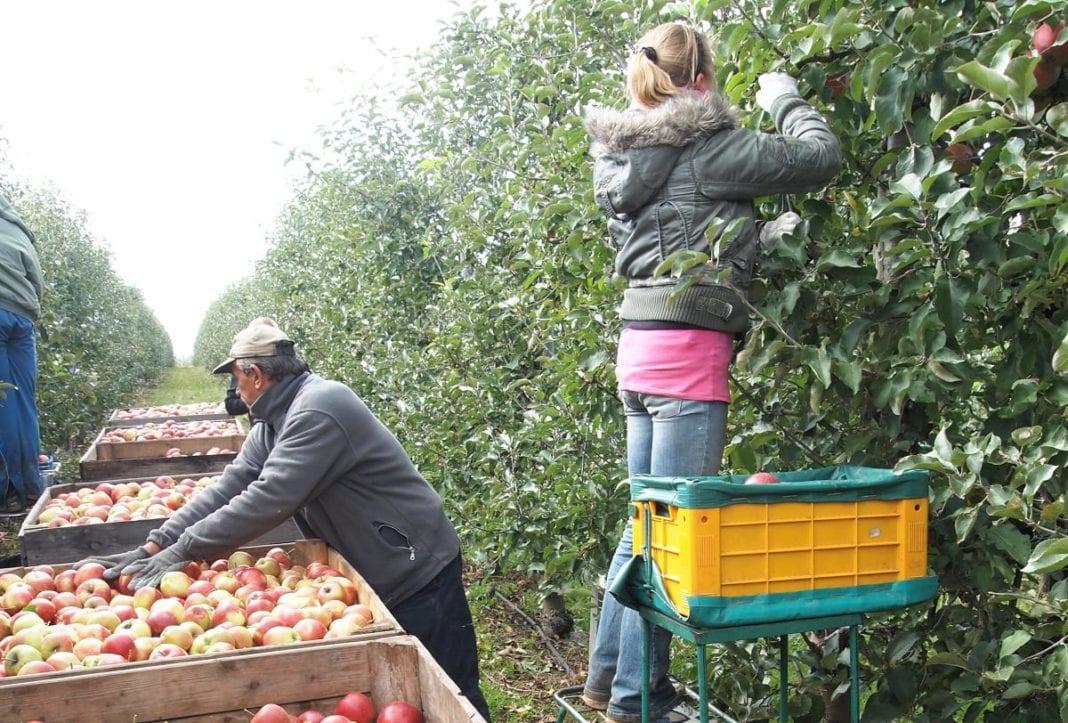 Zbiór jabłek w Sadzie - pracownicy