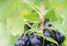 Czy uprawa czarnej porzeczki może być opłacalna?