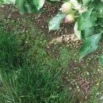 Przerzedzanie chemiczne jabłoni