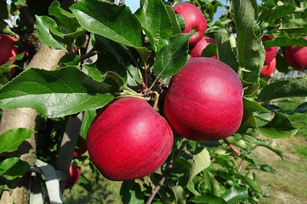 GUS: zbiory owoców z drzew 65 proc. wyższe niż ubiegłoroczne