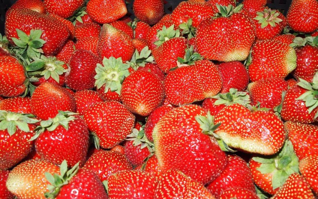 Węgrzy spodziewają się dobrego sezonu truskawkowego