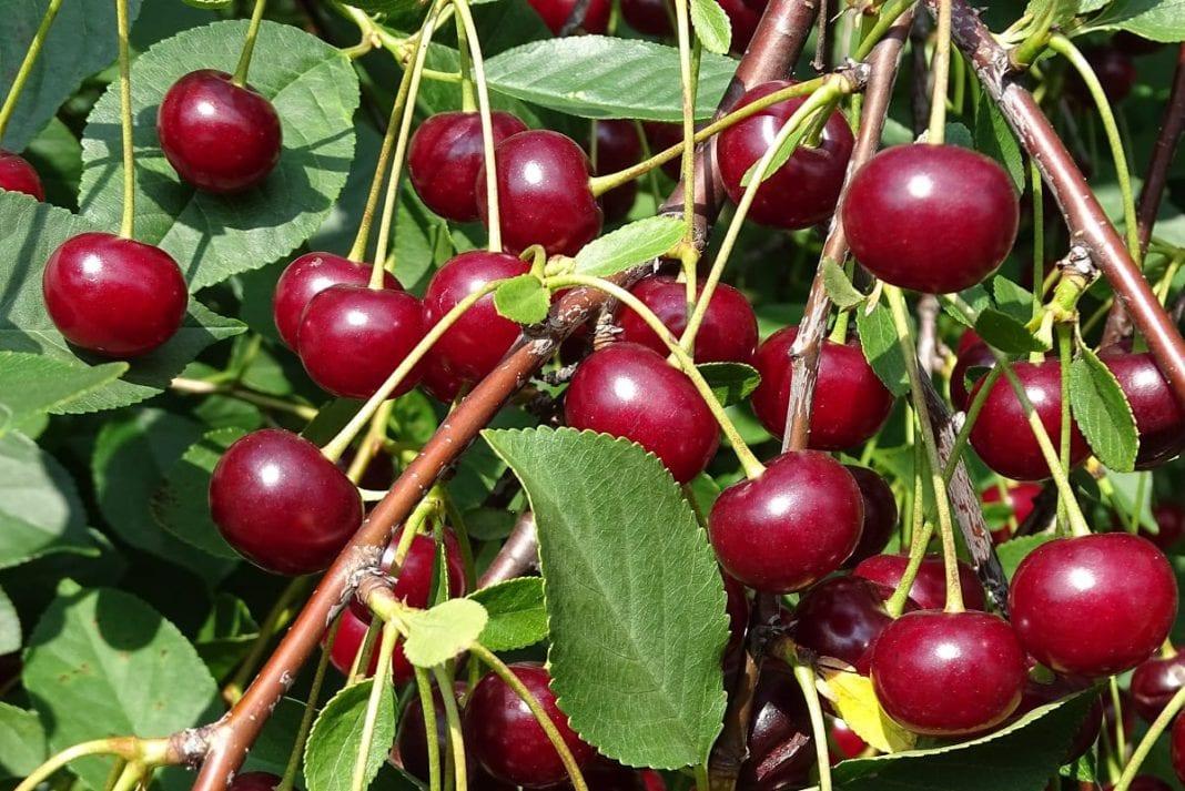 Tureckie owoce pestkowe