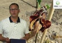 Komunikat sadowniczy – zalecenia PROCAM z 28.06.2017