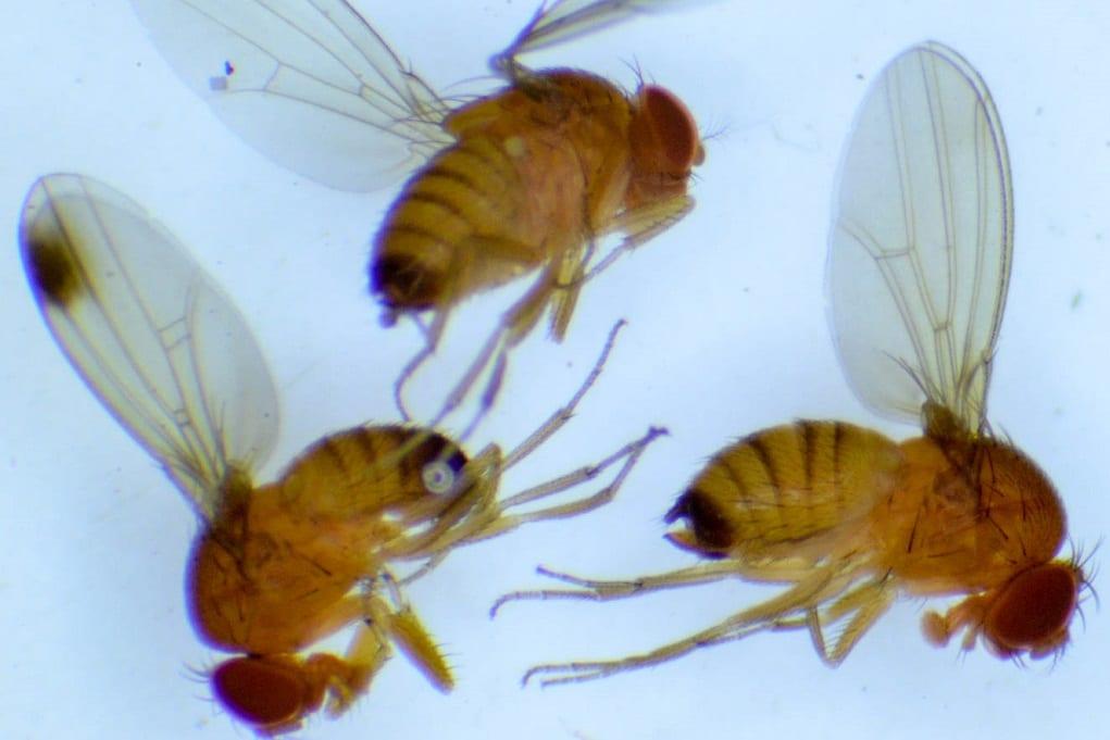 Drosophila suzukii inwazyjny szkodnik – możliwości walki biologicznej