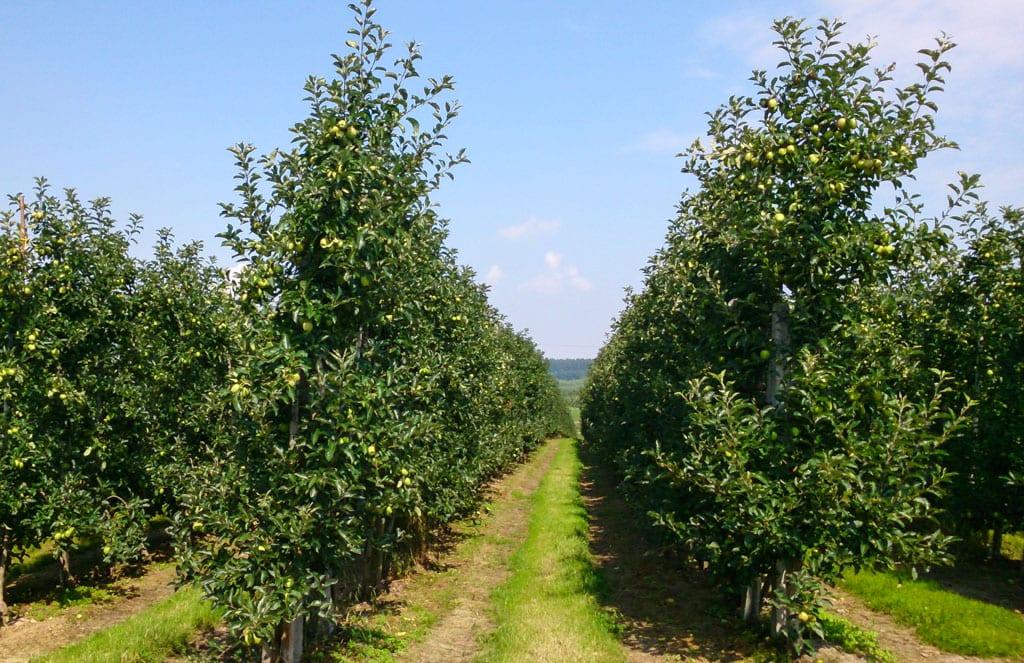 Ukraina: sadów ubyło – jabłek odwrotnie