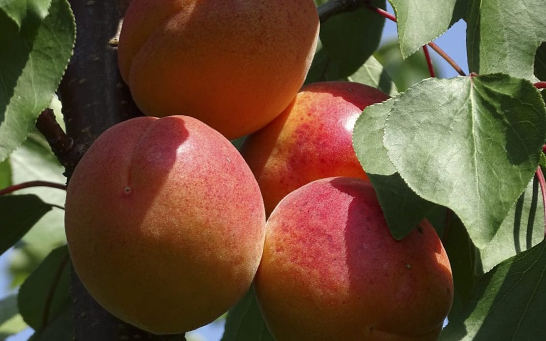 Tureckie brzoskwinie